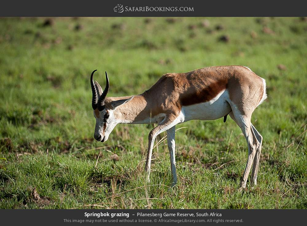 Springbok grazing in Pilanesberg Game Reserve, South Africa