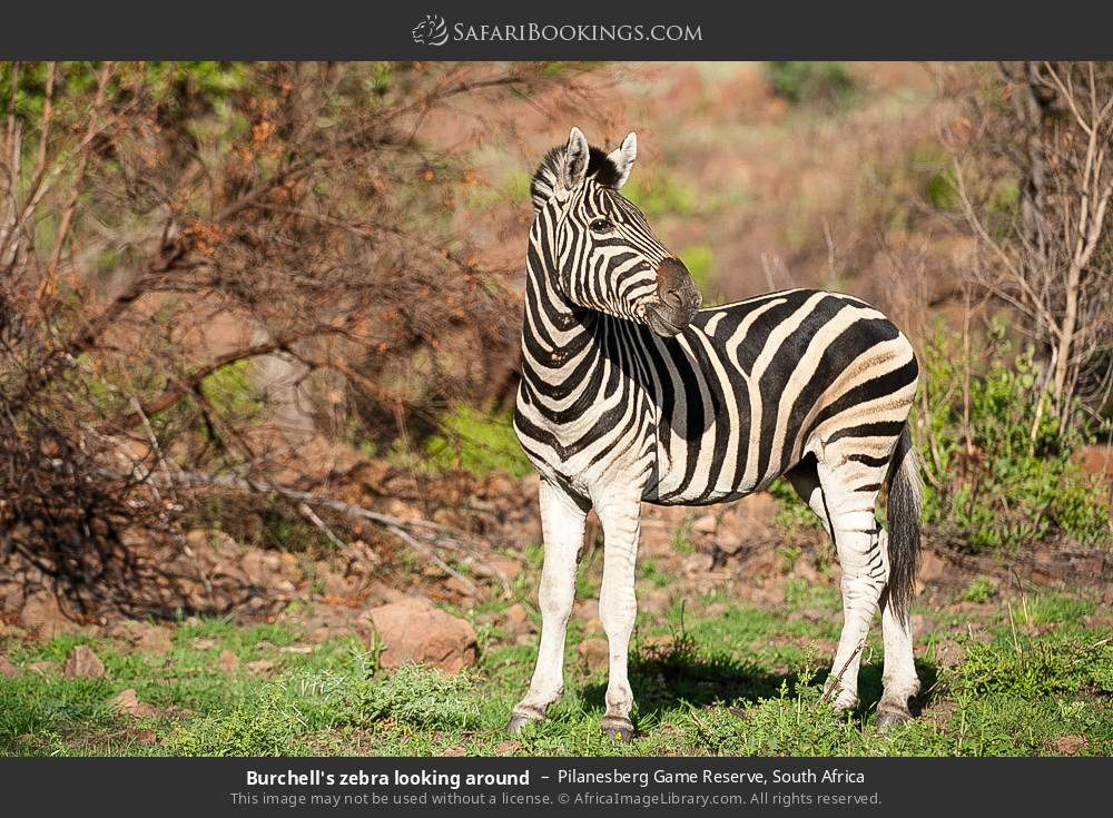 Burchell's zebra looking around in Pilanesberg Game Reserve, South Africa