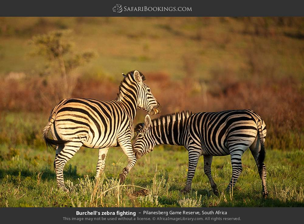 Burchell's zebra fighting in Pilanesberg Game Reserve, South Africa