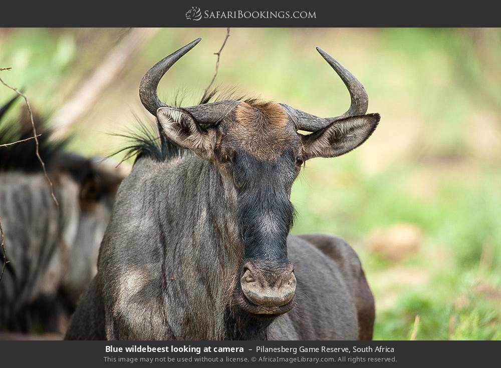 Blue wildebeest looking at camera in Pilanesberg Game Reserve, South Africa