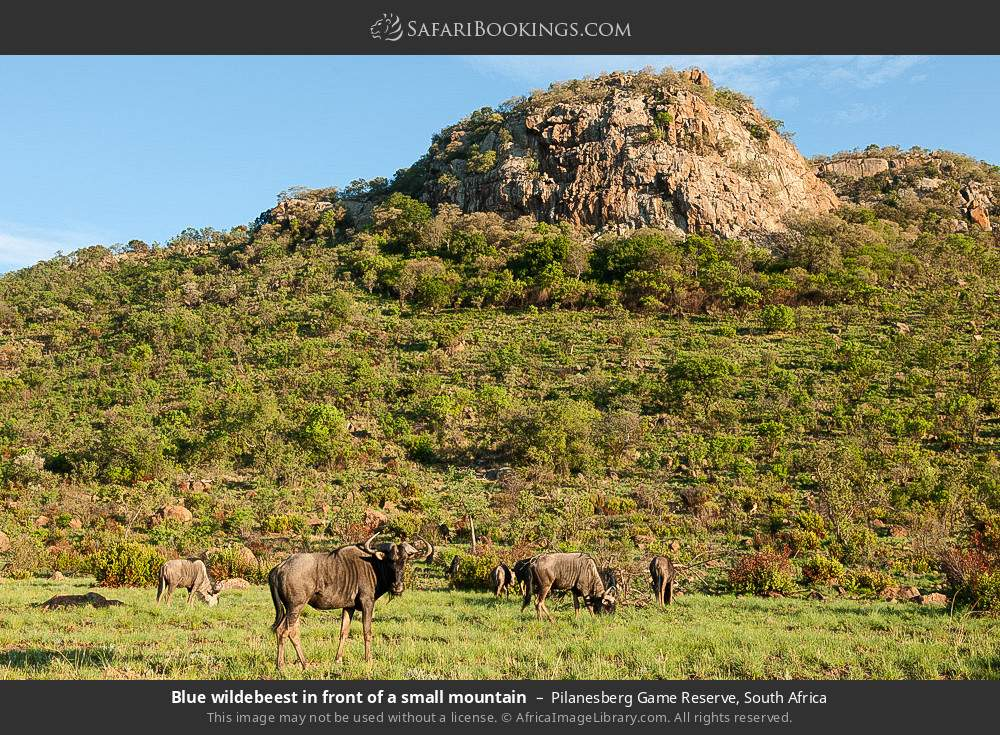 Blue wildebeest in front of a small mountain in Pilanesberg Game Reserve, South Africa