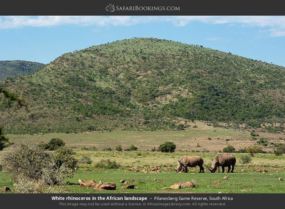 White rhinoceros in the African landscape in Pilanesberg Game Reserve, South Africa