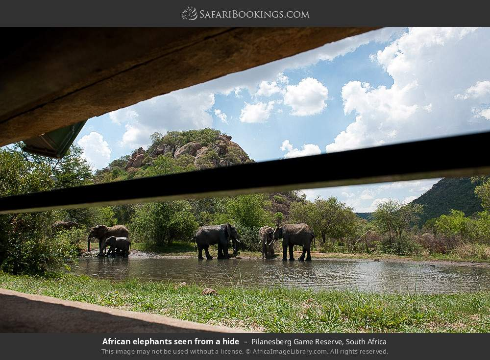 African elephants seen from a hide in Pilanesberg Game Reserve, South Africa