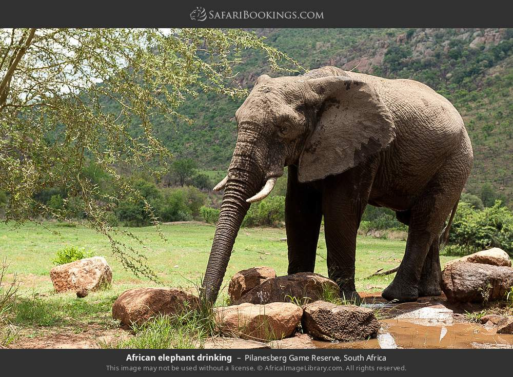 African elephant drinking in Pilanesberg Game Reserve, South Africa
