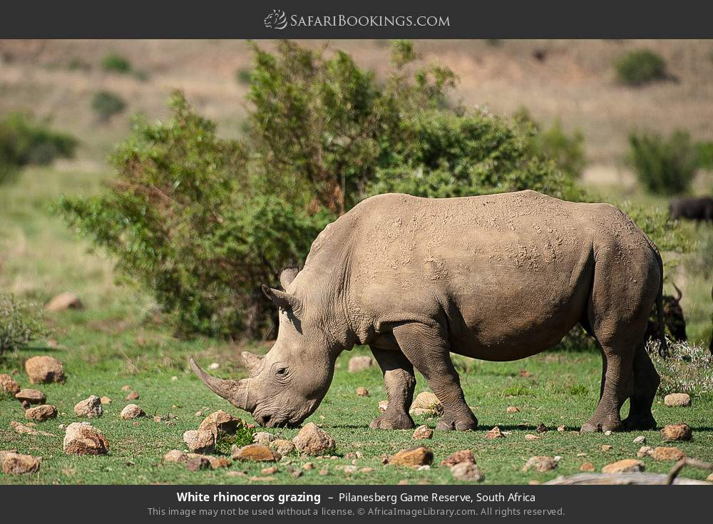 White rhinoceros grazing in Pilanesberg Game Reserve, South Africa