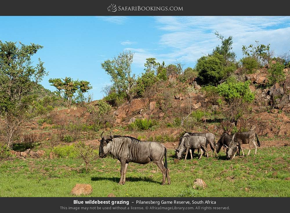 Blue wildebeest grazing in Pilanesberg Game Reserve, South Africa