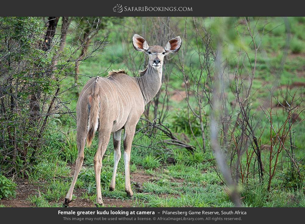 Female Greater kudu looking at camera in Pilanesberg Game Reserve, South Africa