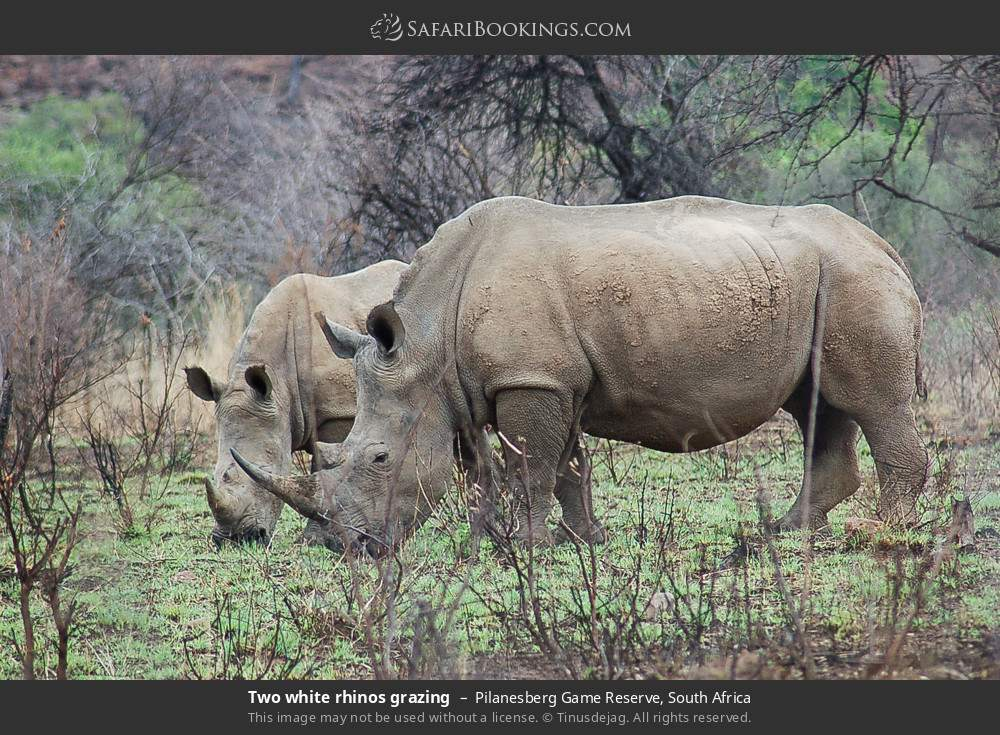 Two white rhinos grazing in Pilanesberg Game Reserve, South Africa