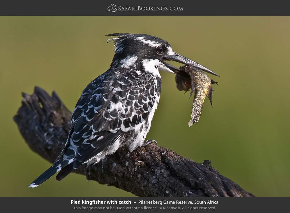 Pied Kingfisher with catch in Pilanesberg Game Reserve, South Africa
