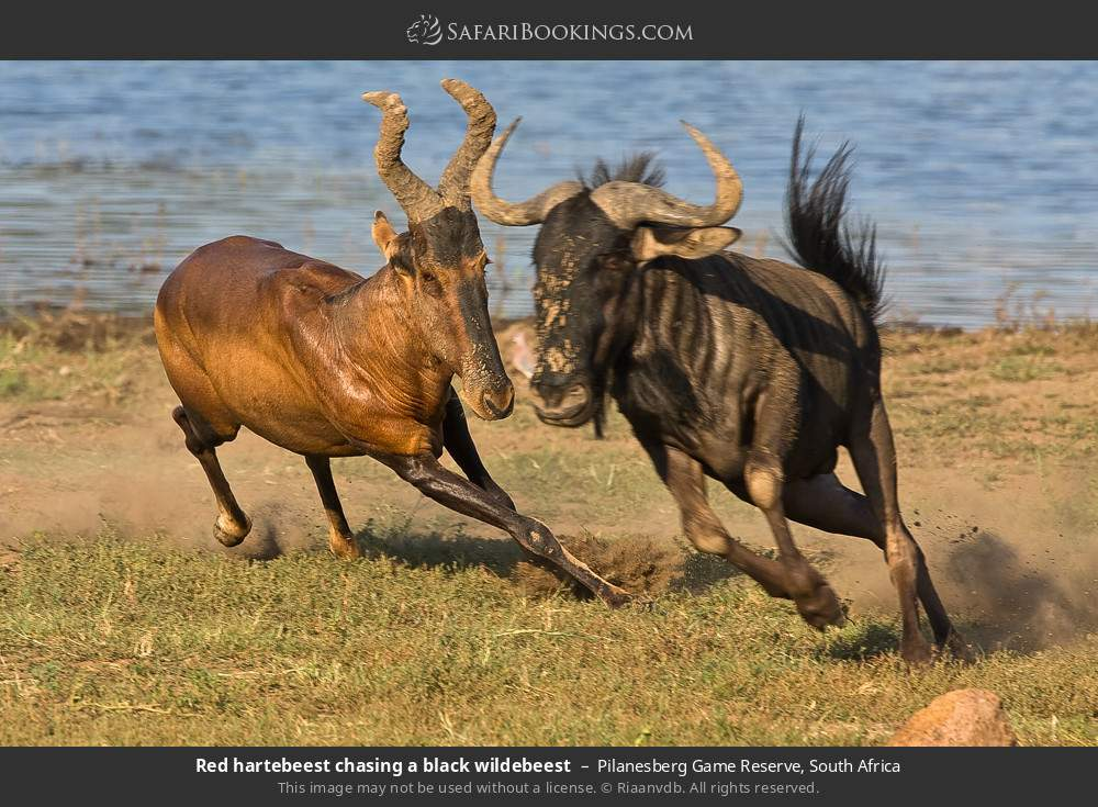 Red Hartebeest chasing a black wildebeest in Pilanesberg Game Reserve, South Africa