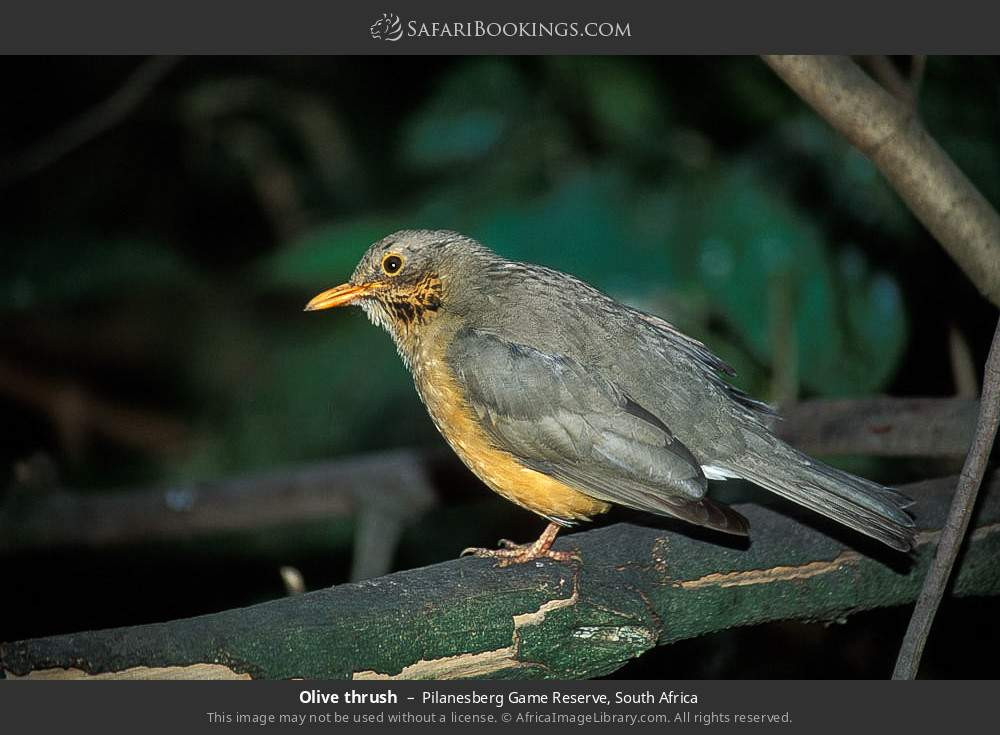Olive thrush in Pilanesberg Game Reserve, South Africa