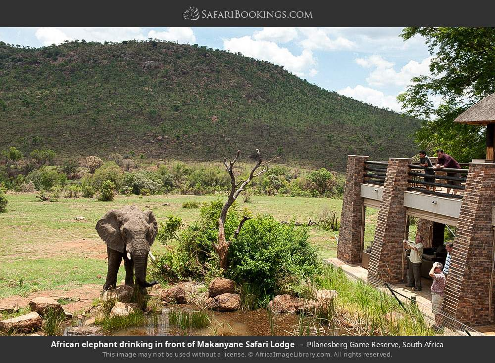 African elephant drinking in front of Makanyane Safari Lodge in Pilanesberg Game Reserve, South Africa