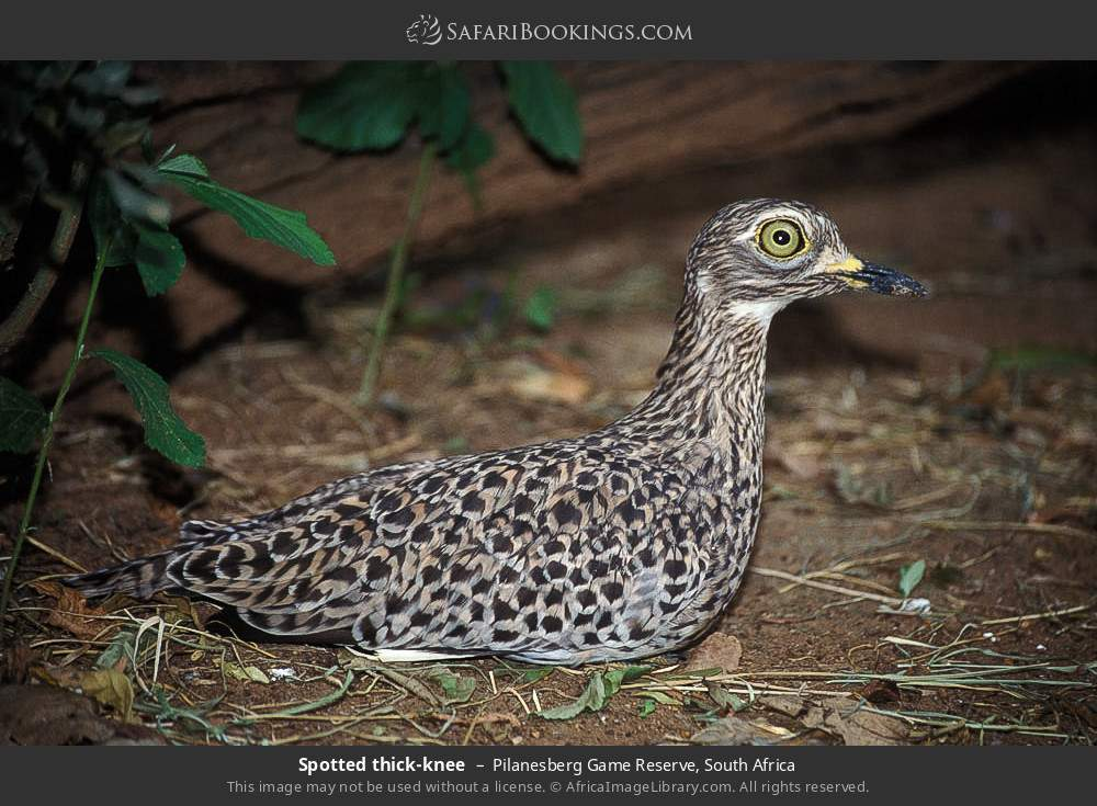 Spotted thick-knee in Pilanesberg Game Reserve, South Africa