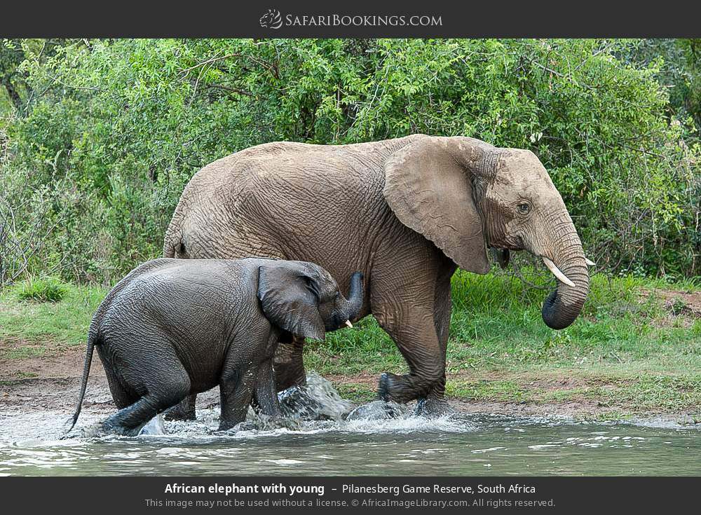 African elephant with young in Pilanesberg Game Reserve, South Africa