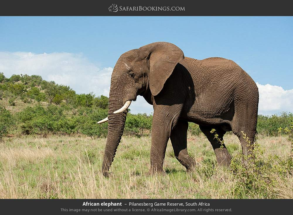 African elephant in Pilanesberg Game Reserve, South Africa