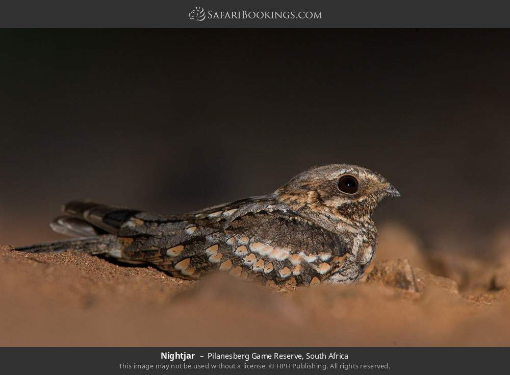 Nightjar in Pilanesberg Game Reserve, South Africa