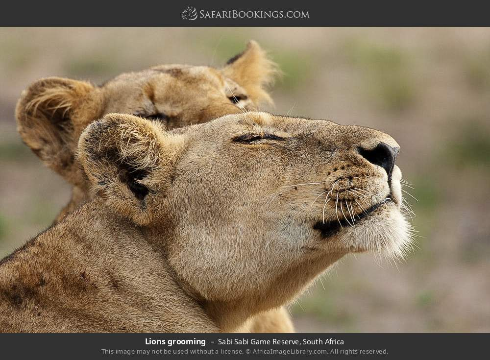 Lions grooming in Sabi Sabi Game Reserve, South Africa