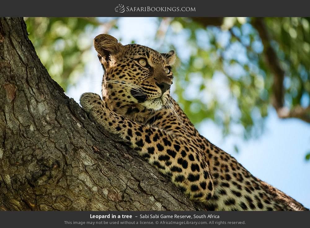Leopard in a tree in Sabi Sabi Game Reserve, South Africa