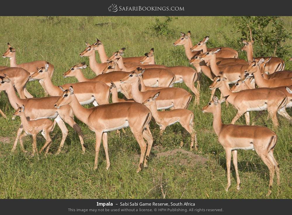 Impala in Sabi Sabi Game Reserve, South Africa