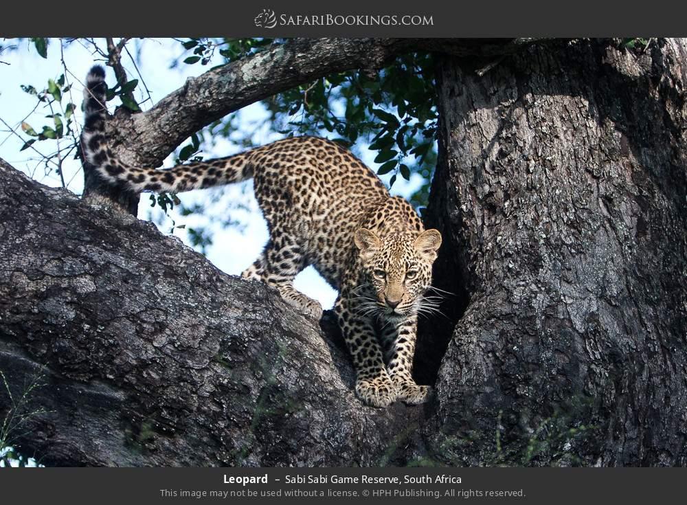 Leopard in Sabi Sabi Game Reserve, South Africa