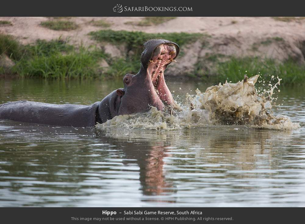 Hippo in Sabi Sabi Game Reserve, South Africa