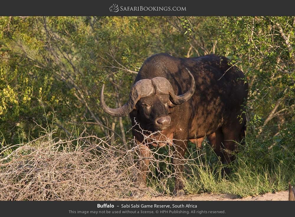 Buffalo in Sabi Sabi Game Reserve, South Africa