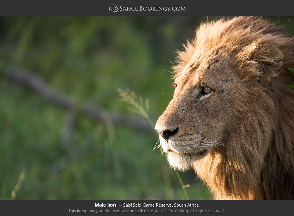 Male lion in Sabi Sabi Game Reserve, South Africa