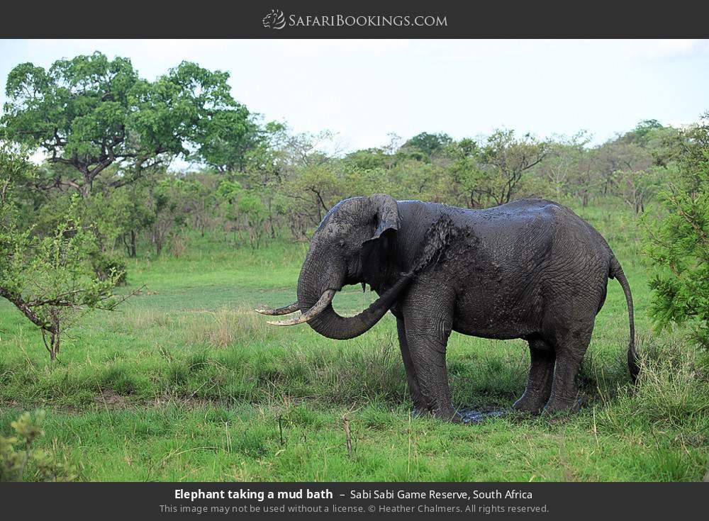 Elephant taking a mud bath in Sabi Sabi Game Reserve, South Africa