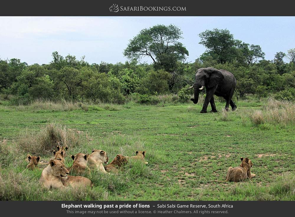 Elephant walking past a pride of lions in Sabi Sabi Game Reserve, South Africa
