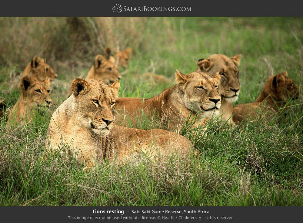 Lions resting in Sabi Sabi Game Reserve, South Africa