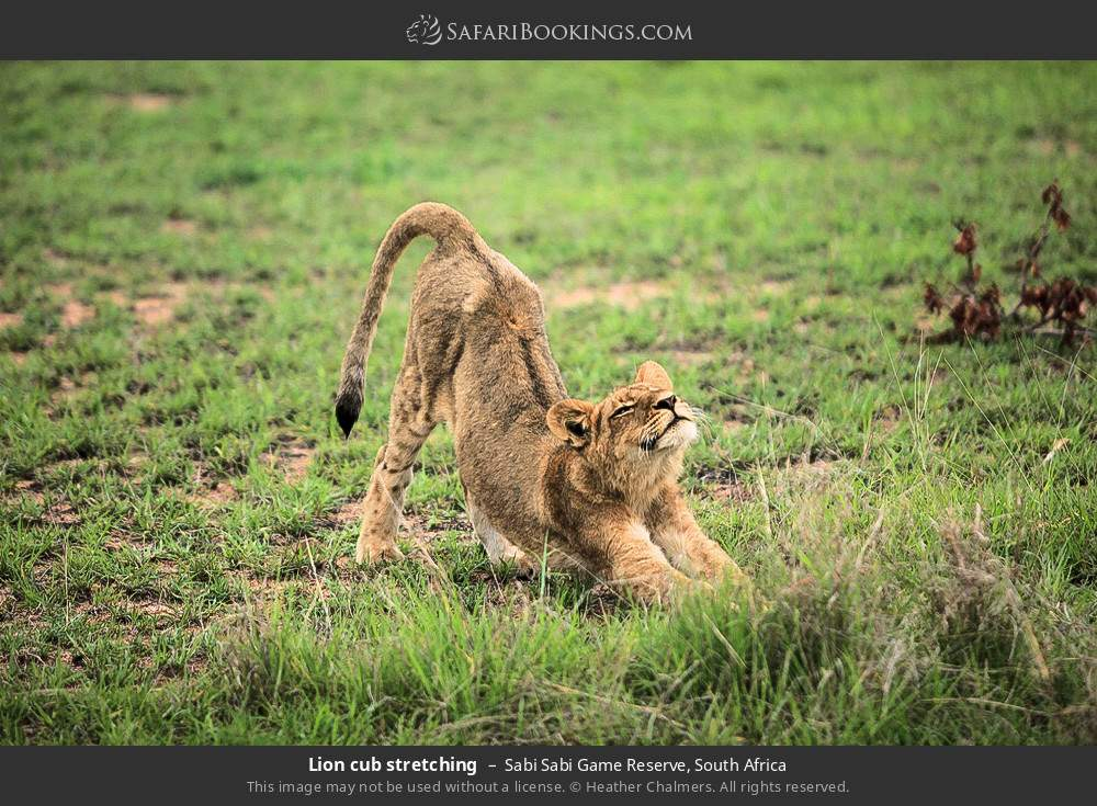 Lion cub stretching in Sabi Sabi Game Reserve, South Africa