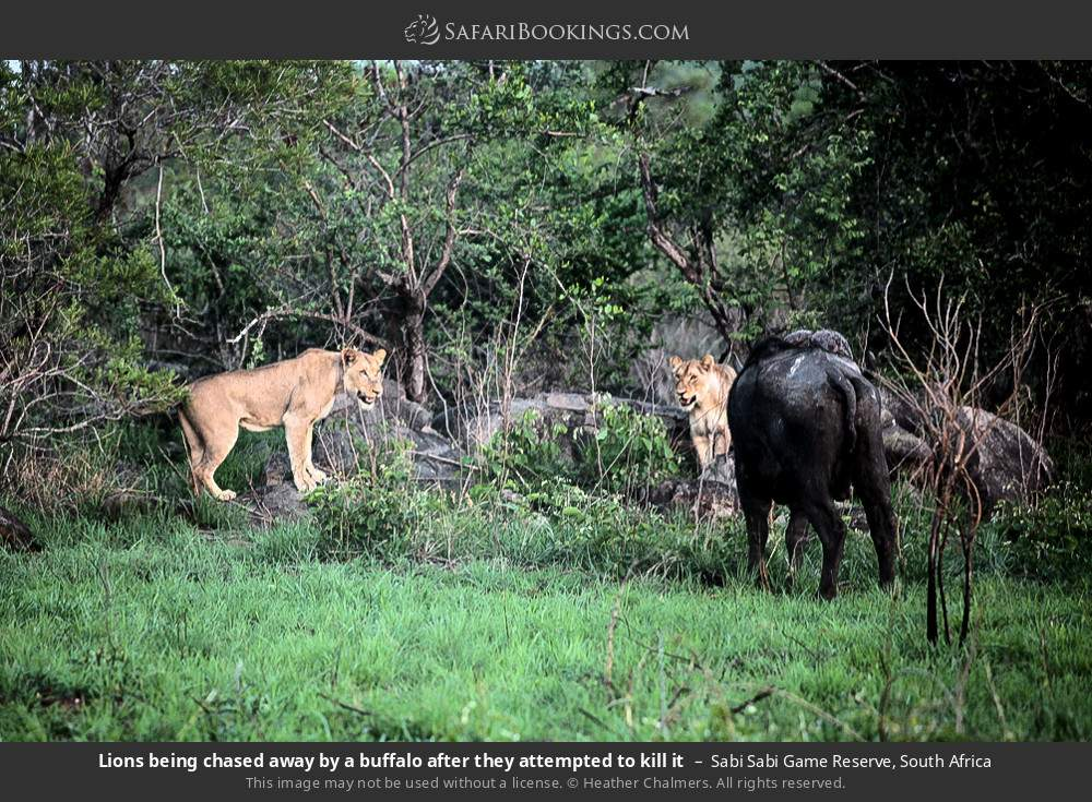 Lions being chased away by a buffalo after they attempted to kill it in Sabi Sabi Game Reserve, South Africa
