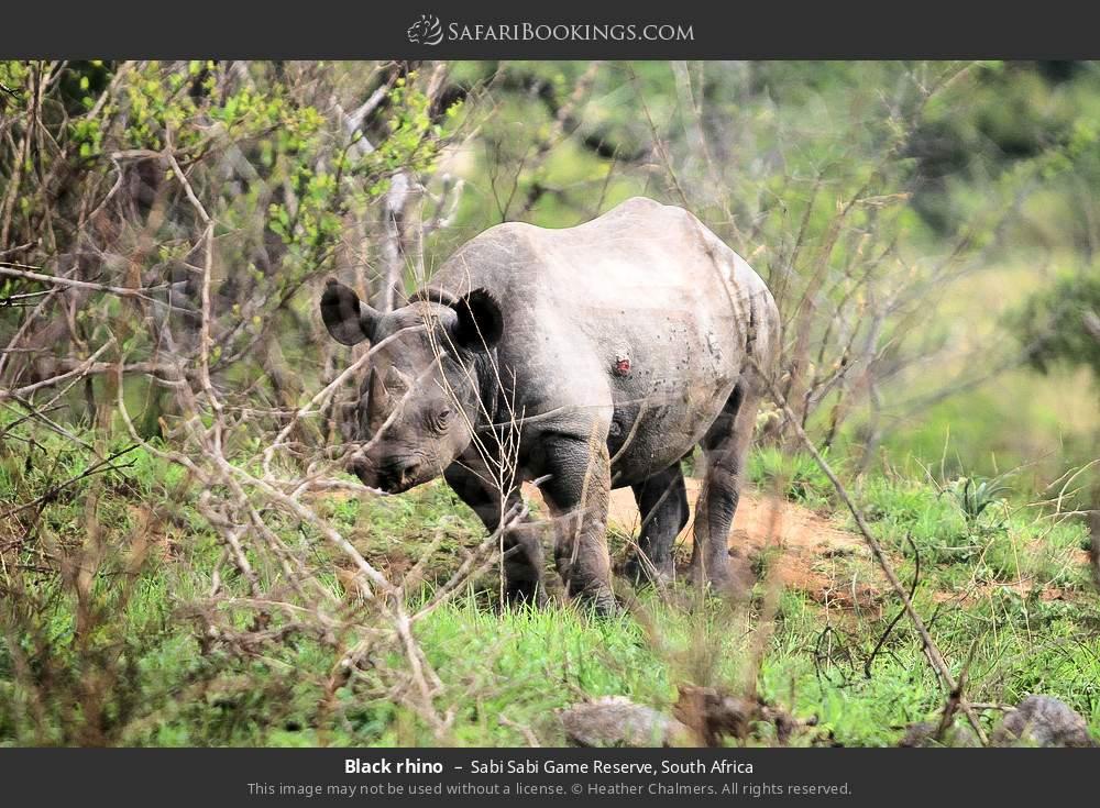 Black rhino in Sabi Sabi Game Reserve, South Africa