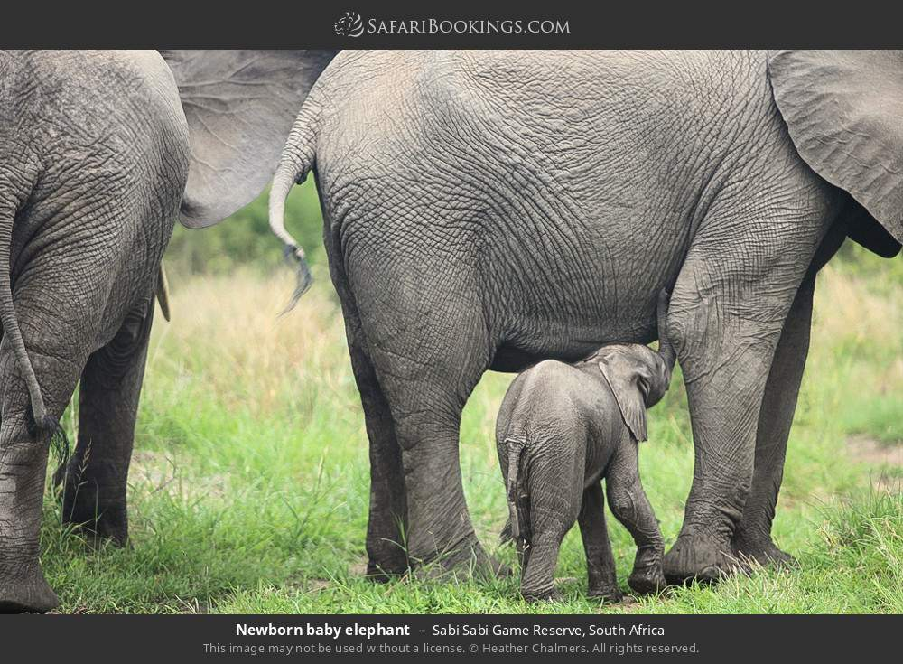 Newborn baby elephant in Sabi Sabi Game Reserve, South Africa
