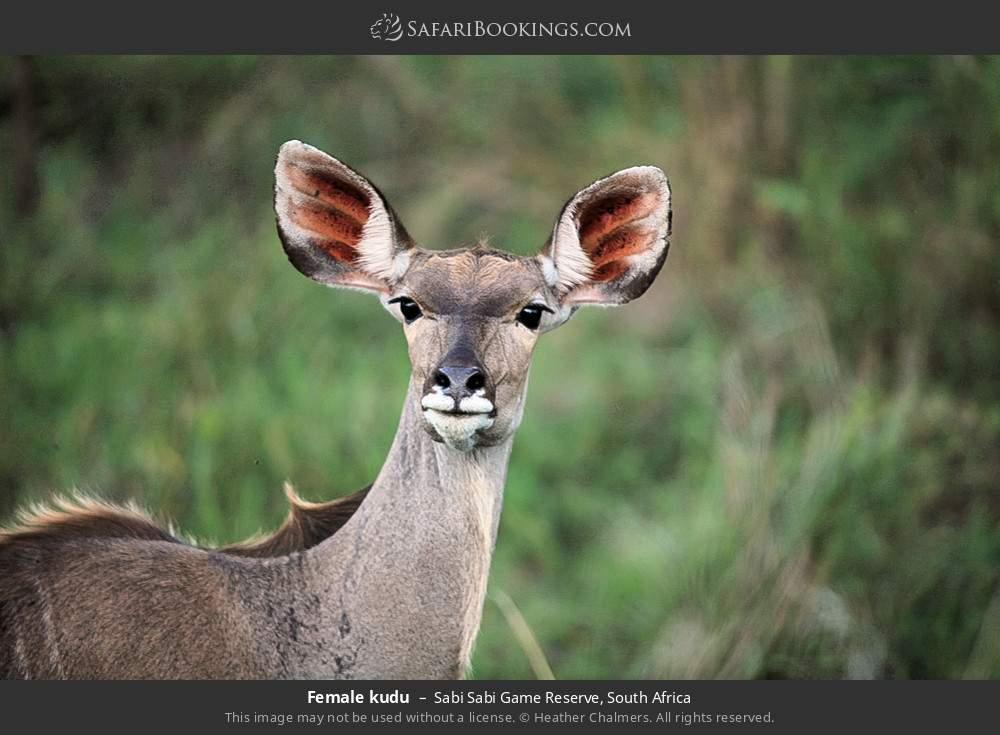 Female kudu in Sabi Sabi Game Reserve, South Africa