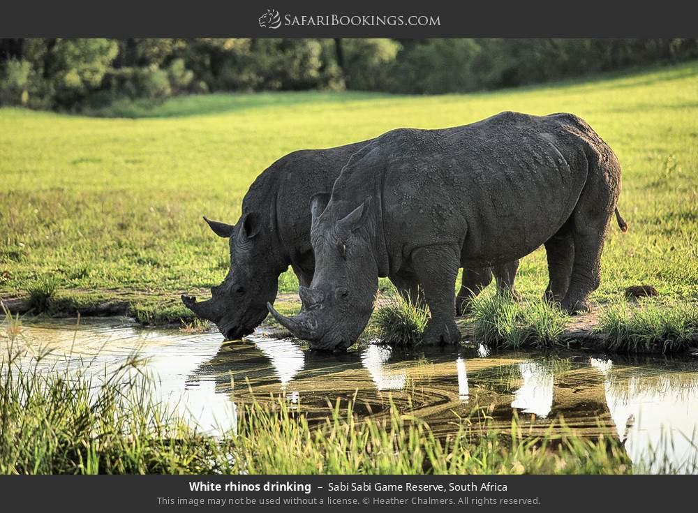White rhinos drinking in Sabi Sabi Game Reserve, South Africa