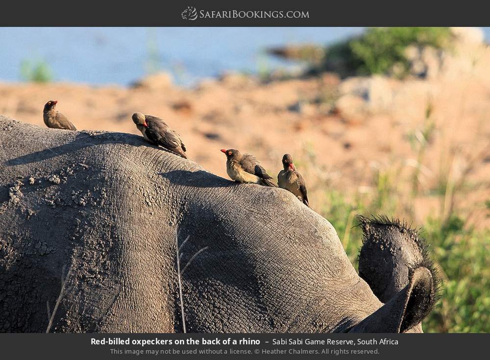 Red-billed oxpeckers on the back of a rhino in Sabi Sabi Game Reserve, South Africa