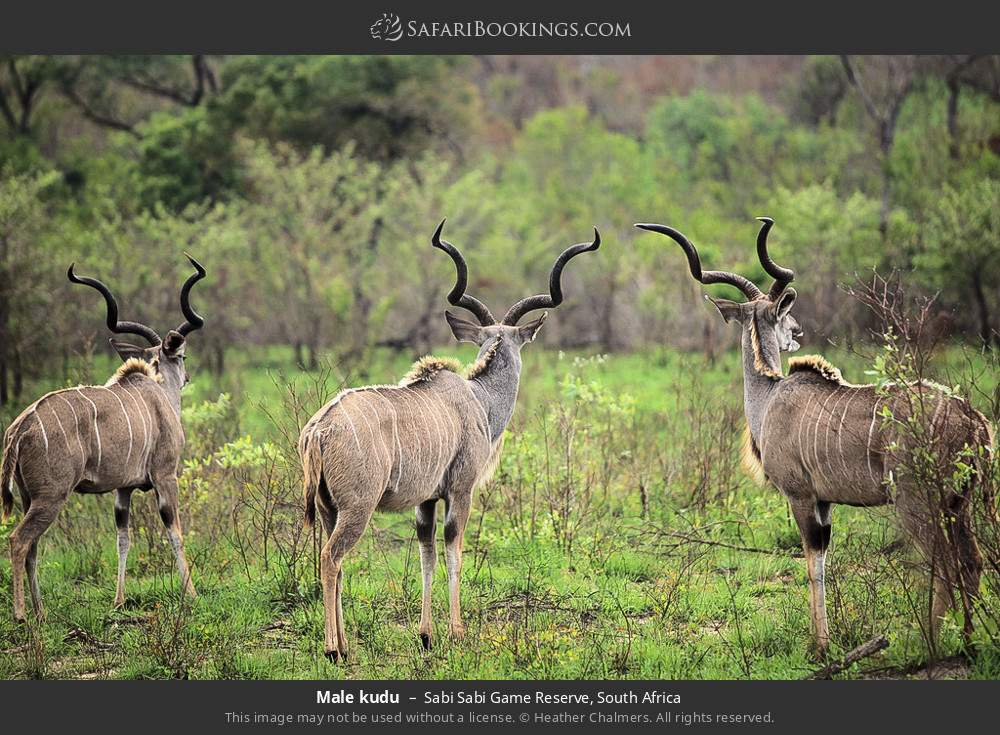 Male kudu in Sabi Sabi Game Reserve, South Africa