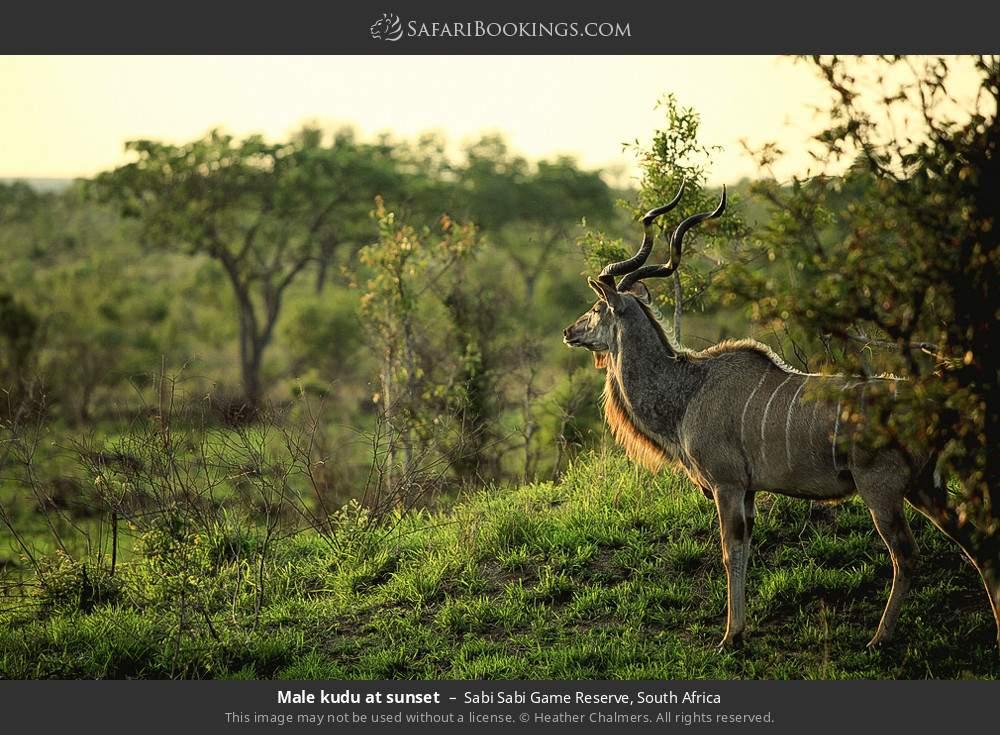 Male kudu at sunset in Sabi Sabi Game Reserve, South Africa