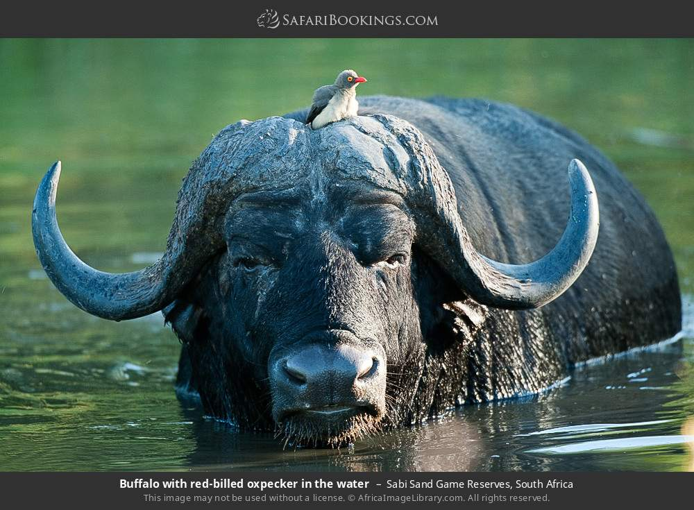 Buffalo with red-billed oxpecker in the water in Sabi Sand Game Reserves, South Africa