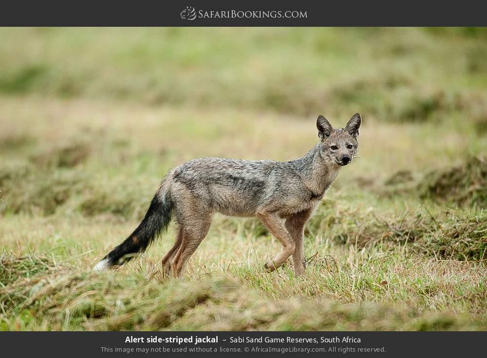 Alert side-striped jackal in Sabi Sand Game Reserves, South Africa