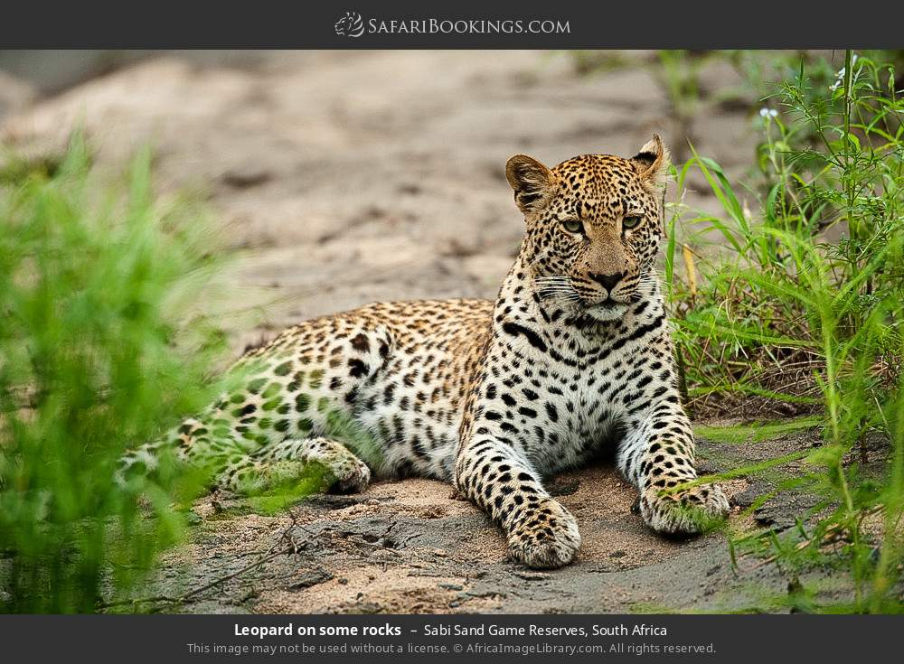 Leopard on some rocks in Sabi Sand Game Reserves, South Africa