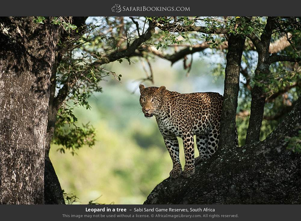 Leopard in a tree in Sabi Sand Game Reserves, South Africa