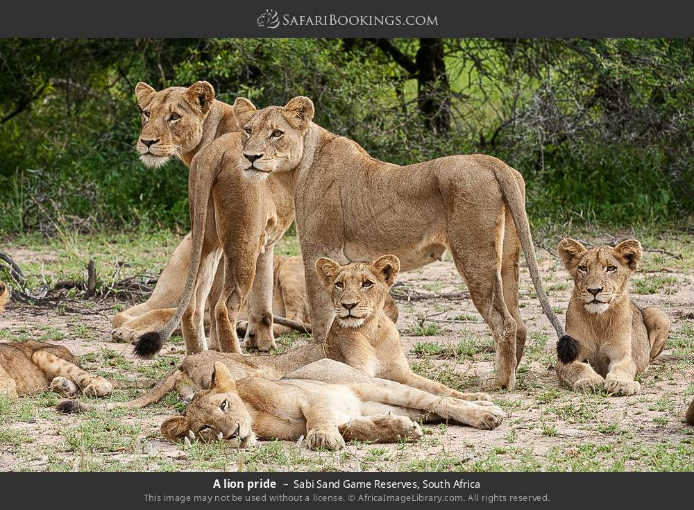 A lion pride in Sabi Sand Game Reserves, South Africa