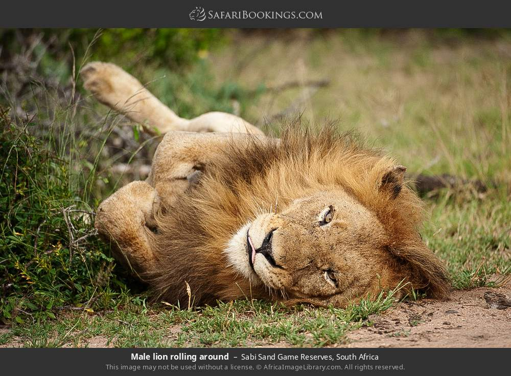 Male lion rolling around in Sabi Sand Game Reserves, South Africa