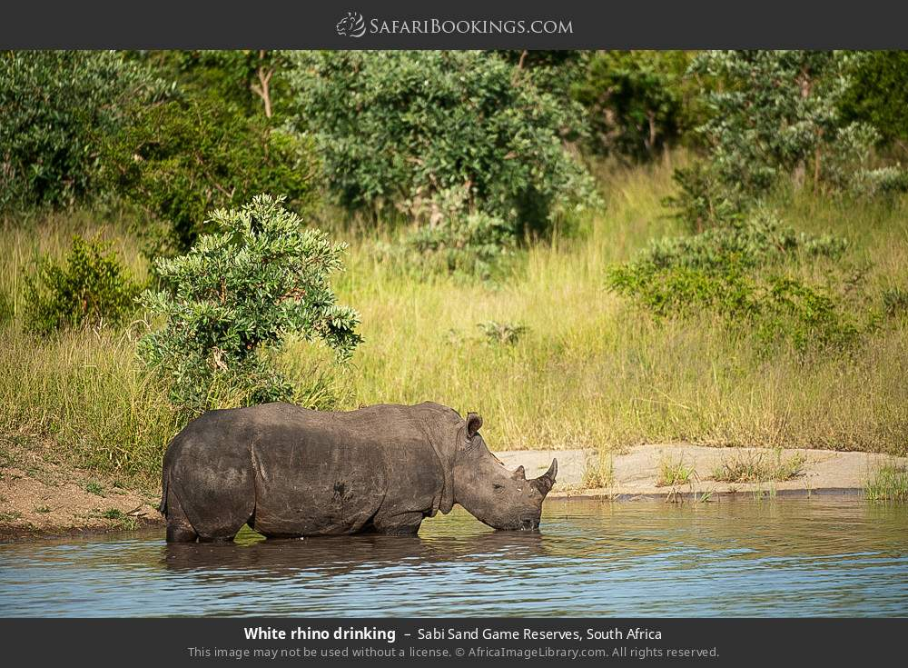 White rhino drinking in Sabi Sand Game Reserves, South Africa