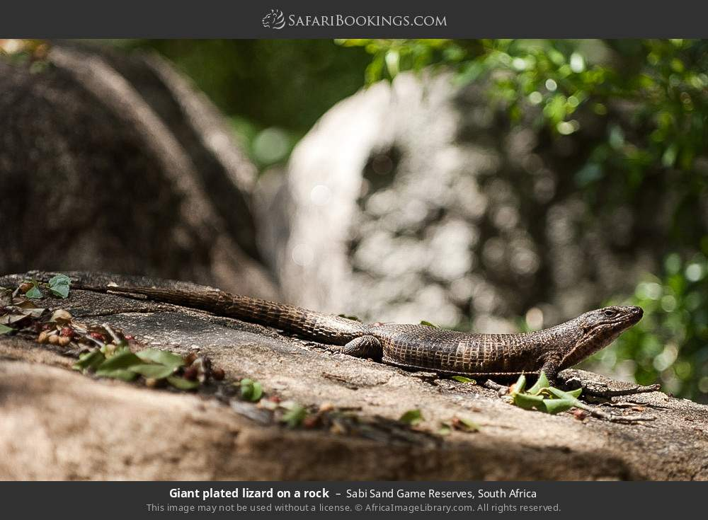 Giant plated lizard on a rock in Sabi Sand Game Reserves, South Africa