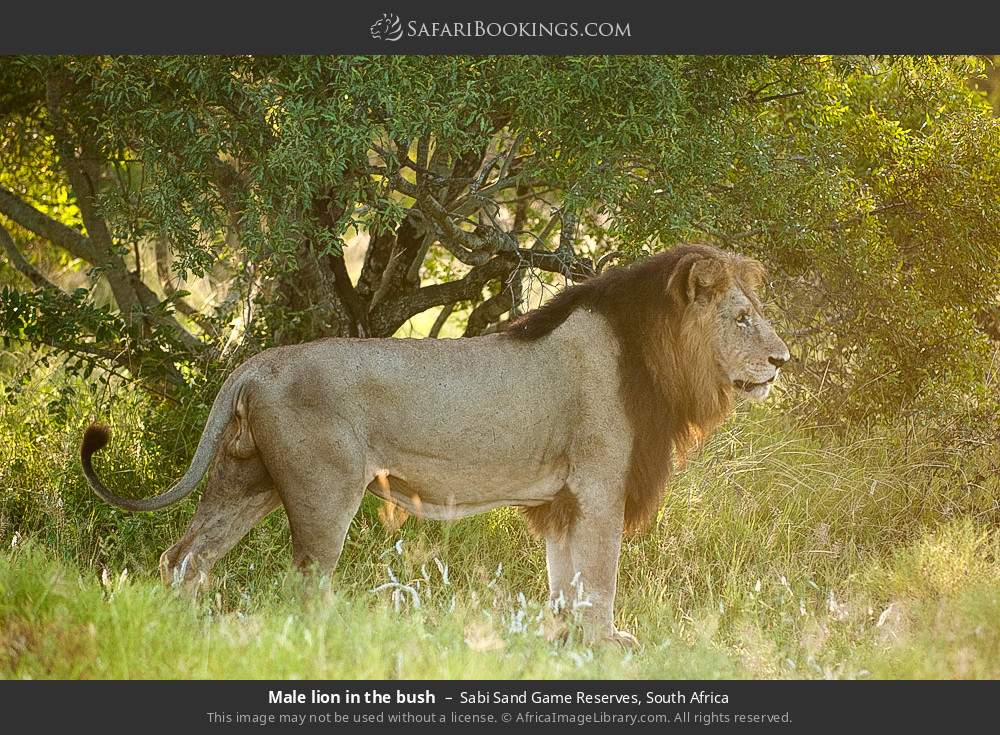 Male lion in the bush in Sabi Sand Game Reserves, South Africa