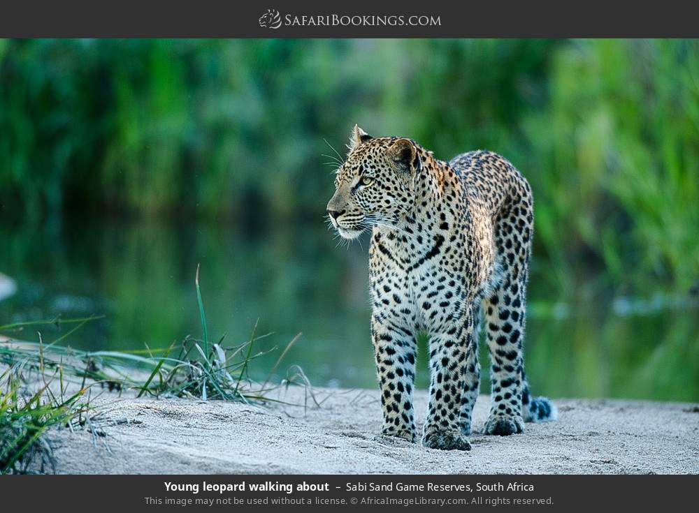 Young leopard walking about in Sabi Sand Game Reserves, South Africa
