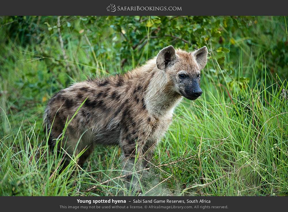 Young spotted hyena in Sabi Sand Game Reserves, South Africa